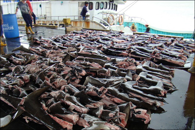 This image shows a shark finning technique in which only a band of skin is retained to keep the fin attached to the spine, and the remainder of the body is discarded at sea. This method is aimed at circumventing legislation banning finning which states that the fins of the shark must be 'naturally attached' to the body. Photo: INTERPOL