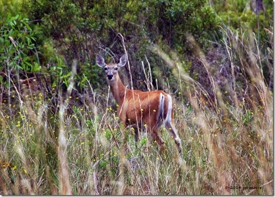 deer 055