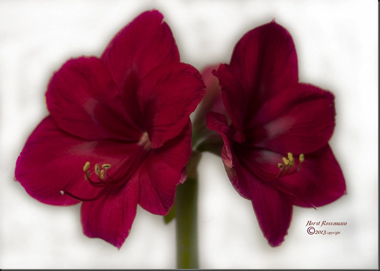 Red Red Amaryllis copy