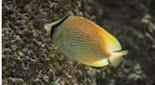 Biodiversité poisson papillon citron