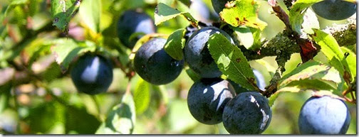 Sloes_On_Tree_5589