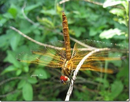 薄翅蜻蜓1
