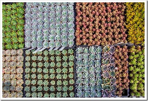 120928_SucculentGardens_echeveria-trays