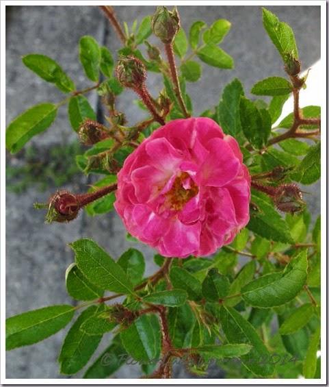 04-23-rose-picnic2