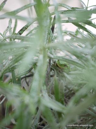frog in lavender