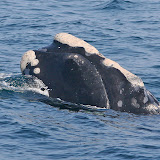Northern right whales