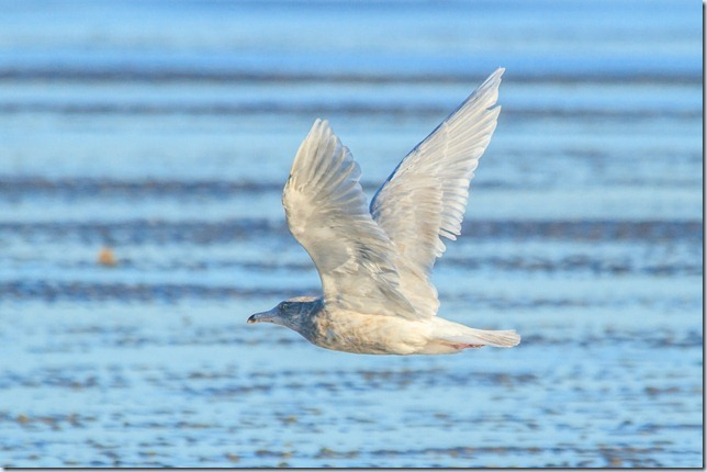 Dungeness_Glauc-4