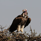 Ohrengeier in der Massai Mara, Kenia © Foto: Bernd Gerlach