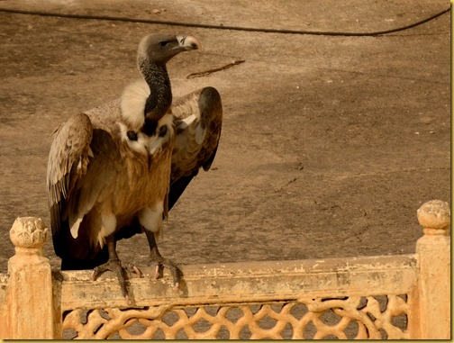 orchha long billed vulture, photo long billed vulture india