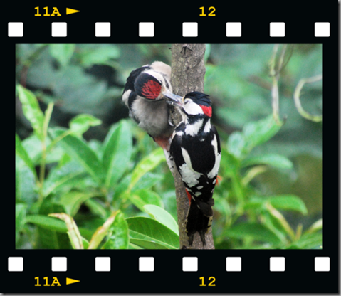 Male woodpecker feeding young 08 film png