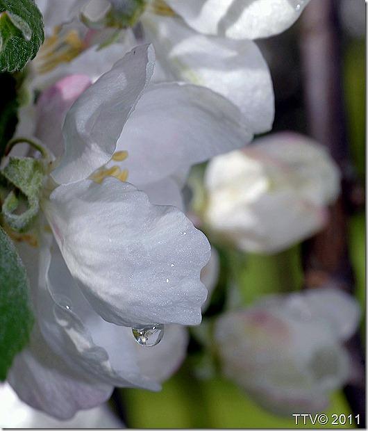 omenan kukkia mustarastas 015