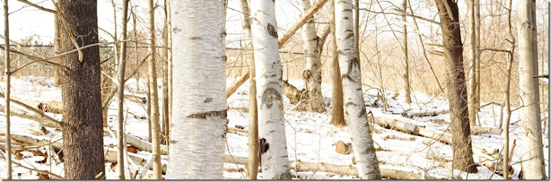 birch trees butterscotch vinetage