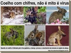 coelho_chifres