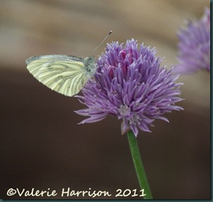 green-veined-on-chives