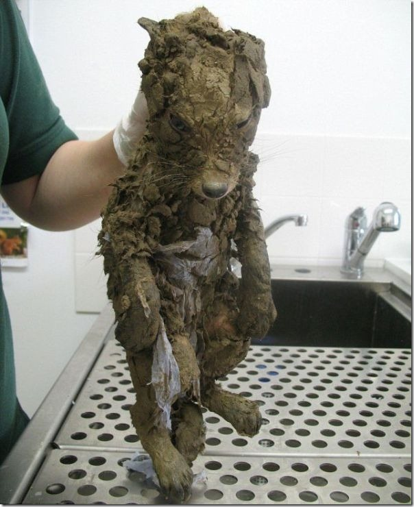 Filhote de raposa atolado na lama (1)