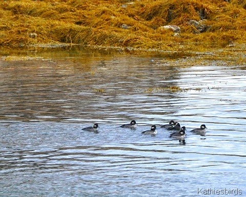 8. 12-21-14 buffleheads in cove-kab