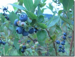 blueberries 04