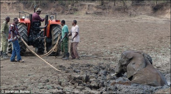 Manpower would not be enough to pull the adult elephant from what would have been a muddy grave