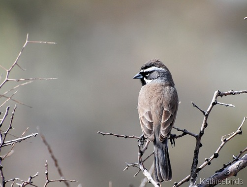 520 Black-throated sparrow SNP-kab