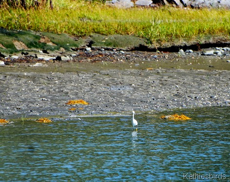 15. snowy egret-kab