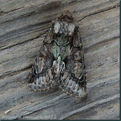 green-brindled-crescent