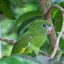 Canary-winged Parakeet