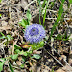 Globularia%252520trichosantha%25252c%252520%252520idjevan%25252c%2525202012.05.15%252520%25252801%252529%2525201