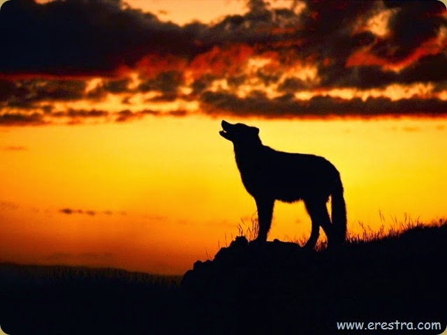 sunset_wolf_1024