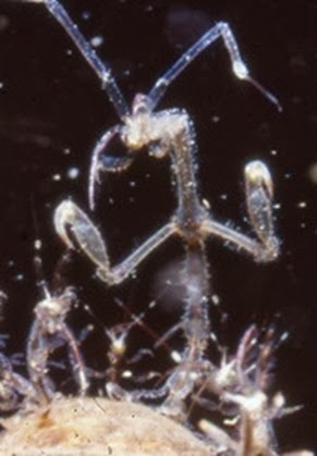 Amazing Pictures of Animals, Photo, Nature, Incredibel, Funny, Zoo, Caprella mutica, Japanese skeleton shrimp, Alex (4)