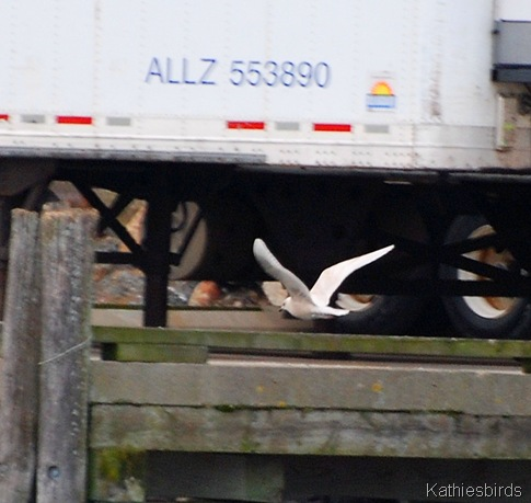 11. iceland gull-kab