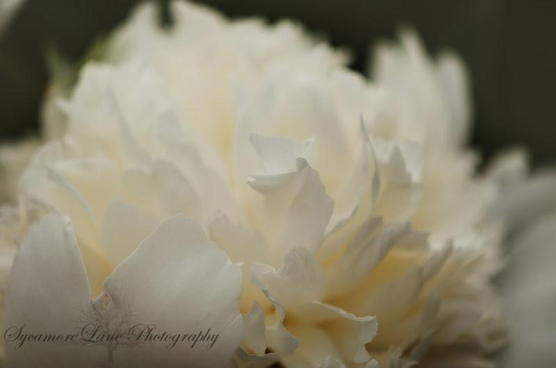 SycamoreLane Photography-peony-5