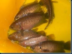 ikan puyu, ternak ikan puyu