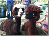 bluemont_cute_alpacas