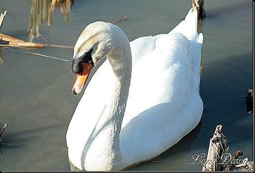 LL_Swan6_2012