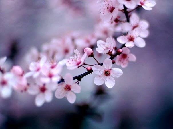 cherry-blossom_1600x12001