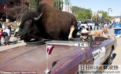 最大寵物 龐大野牛