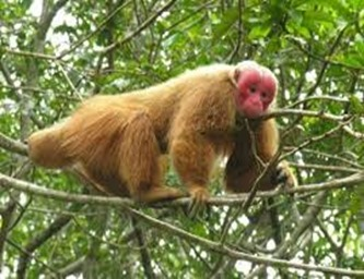 Amazing Pictures of Animals, photo, Nature, exotic, funny, incredibel, Zoo, Cacajao Calvus, Blad Uakari, Primate, Mammals, Alex (20)