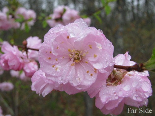 Pink for Sunday Stills Prunus triloba multiplex