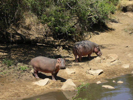Safari: Hippos in Serengeti