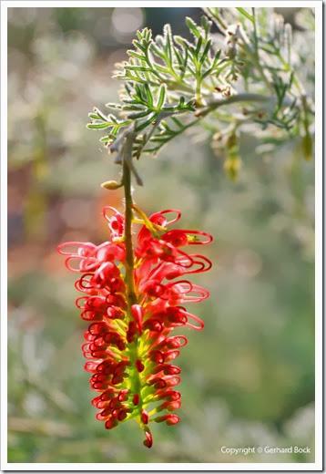 131124_UCD_Arboretum_AustralianCollection_Hakea-leucoptera_18