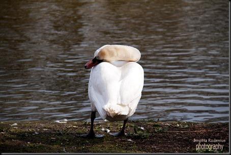 birds_20120424_svan