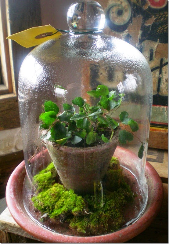 small-terrarium-with-button-fern