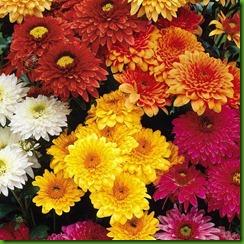 Crisantemo Dobrado Mix