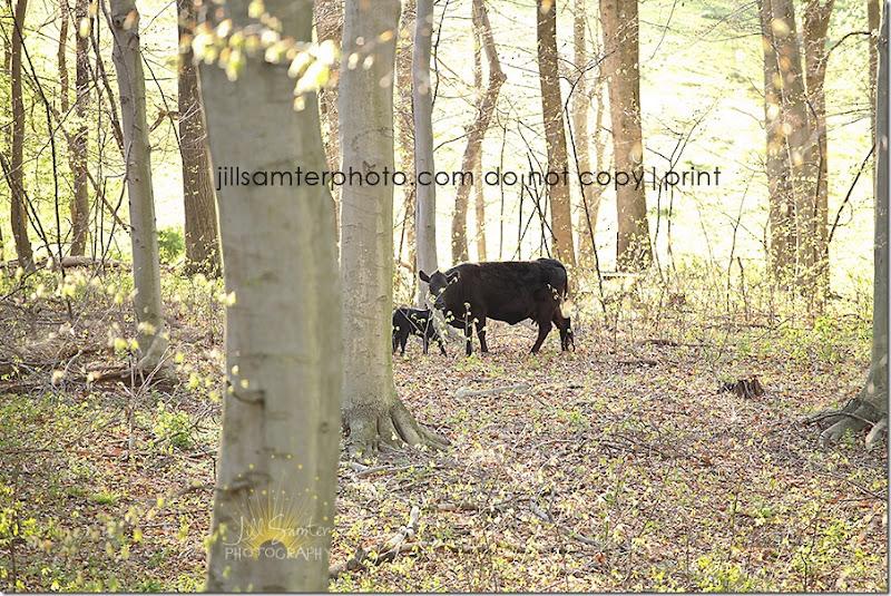 cows-6680