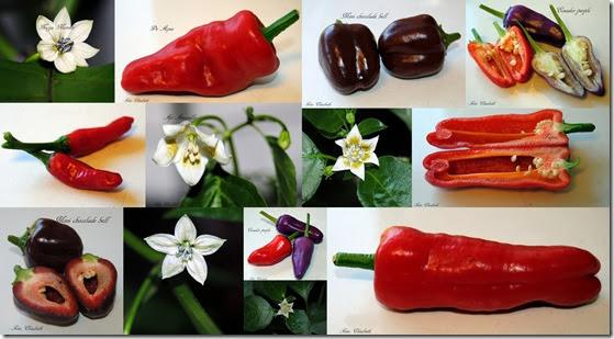 Chili, tomat og chiliblomster 2 aug-13