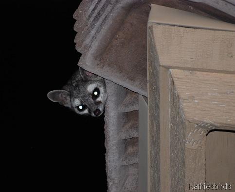 1. Ring-tailed Cat-kab