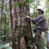 ③ 胸高直径の計測 / Measuring a tree at DBH