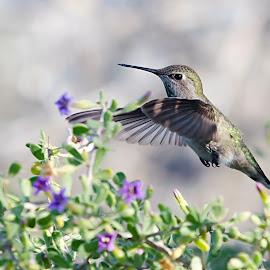 Hummingbird by Steve Forbes - Animals Birds ( bird, flight, hummingbird, feeding, feathers, fly )