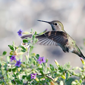 Hummingbird by Steve Forbes - Animals Birds ( bird, flight, hummingbird, feeding, feathers, fly,  )