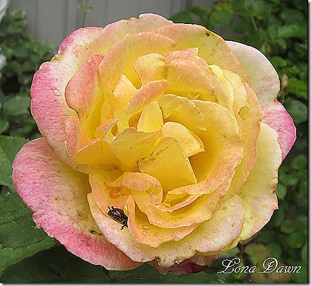 Rose_BellaRoma_Beetle